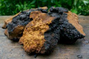 Chaga Pilz gegen hohenBlutzucker